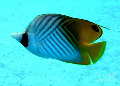 Photograph - Threadfin Butterflyfish by Barbie Corbett-Newmin