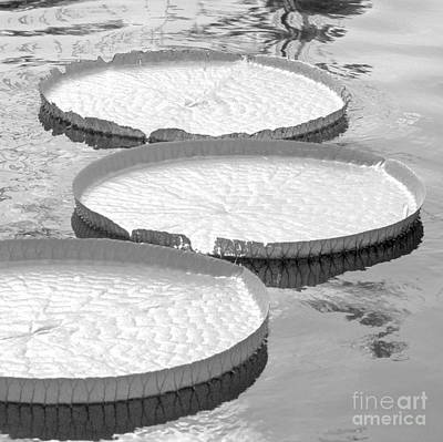 Photograph - Three Amazonian Water Lily Pads #5 by Sabrina L Ryan