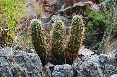 Photograph - Three Amigos Cacti At The Bottom Of The Grand Canyon by Shawn O'Brien