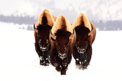 Bison Photograph - Three Amigos by Steve Hinch