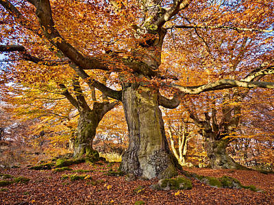 Rotbuche Photograph - Three Ancient Beech Trees - Germany by Martin Liebermann