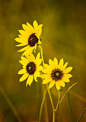 Art Print featuring the photograph A Trio Of Black Eyed Susans by Gary Slawsky