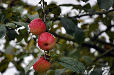 Photograph - Three Apples by Tikvah's Hope