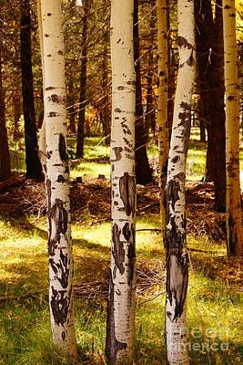 Photograph - Three Aspen Trees by Kerri Mortenson