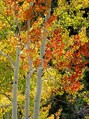 Photograph - Three Aspens In Autumn by Alan Socolik