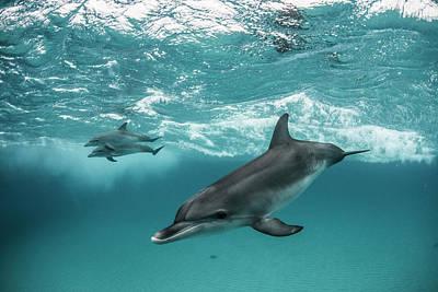 Three Atlantic Spotted Dolphins Art Print by Rodrigo Friscione