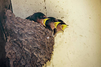 Three Of A Kind Photograph - Three Baby Birds In A Nest Calling by John Short
