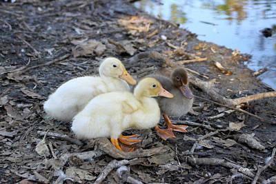 Photograph - Three Baby Ducks by Diana Haronis