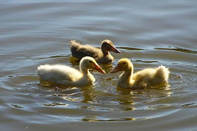 Photograph - Three Baby Ducks Swimming by Diana Haronis