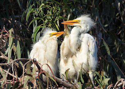 Three Baby Egrets Sitting In A Nest Art Print