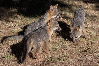 Three Baby Foxes Print by Kathleen Bishop