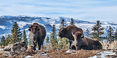 Photograph - Three Bison by Gary Beeler