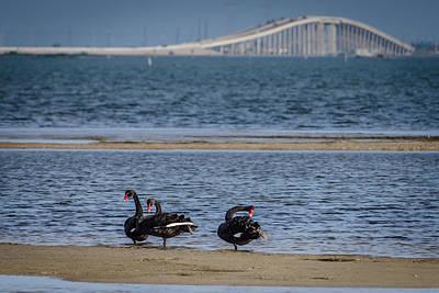 Photograph - Three Black Swans by Debra Martz
