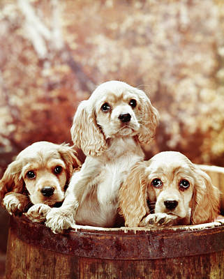 Homeless Pets Photograph - Three Blond Cocker Spaniel Puppies by Vintage Images