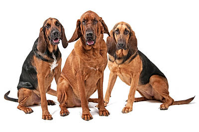 Bloodhound Photograph - Three Bloodhound Dogs Isolated On White by Susan Schmitz