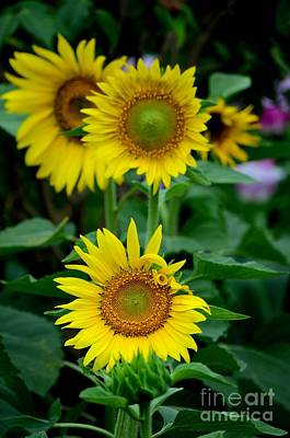 Photograph - Three Blooming Yellow Sunflowers  by Imran Ahmed
