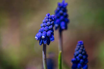 Photograph - Three Blue Flowers by Nathan Hillis
