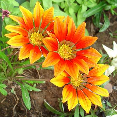 Photograph - Three Bright Colored Gazania Flowers And Garden by Tracey Harrington-Simpson