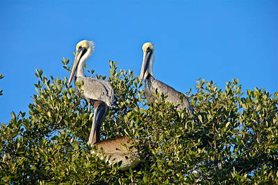 Photograph - Three Brown Pelicans by Denise Mazzocco