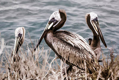 Digital Art - Three Brown Pelicans by Photographic Art by Russel Ray Photos