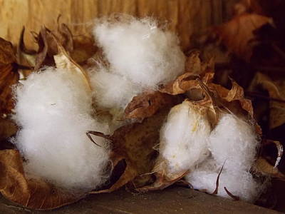 Photograph - Three Buds Of Cotton by Sheri McLeroy