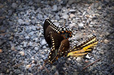Mating Dance Photograph - Three Butterflys by Bill Cannon