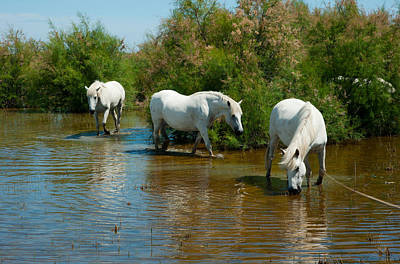 Three Camargue White Horses In A Lagoon Art Print by Panoramic Images
