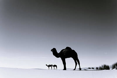 Freedom Photograph - Three Camels In The Sahara Desert by Zodebala