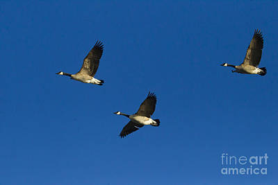 Sheep - Three Canada Geese In Flight   #5642 by J L Woody Wooden