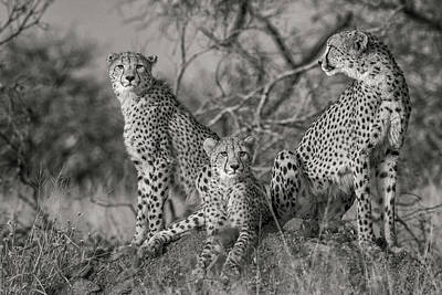 Hunters Photograph - Three Cats by Jaco Marx