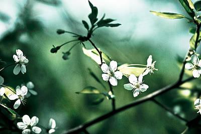 Three Cherry Flowers - Featured 3 Art Print by Alexander Senin