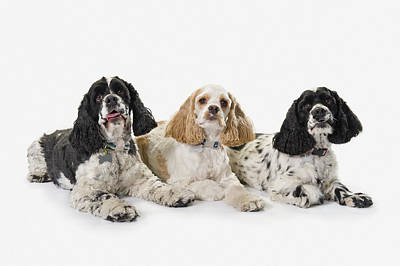Three Of A Kind Photograph - Three Cocker Spaniels On A White by Corey Hochachka