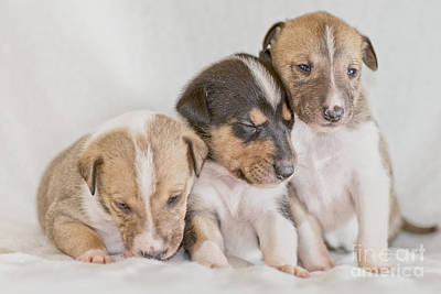 Photograph - Three Collie Puppies by Martin Capek
