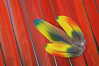 Scarlet Macaw Photograph - Three Covert Feathers Laying On Scarlet by Darrell Gulin