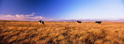 Point Reyes National Seashore Photograph - Three Cows Grazing In A Field, Point by Panoramic Images