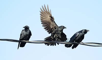 Photograph - Three Crows On A Wire. by Bradford Martin