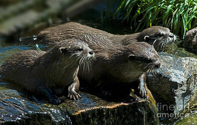 Photograph - Three Curious Otters 1466 by Colin Munro