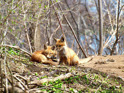 Three Cute Kit Foxes 1 Print by Thomas Young