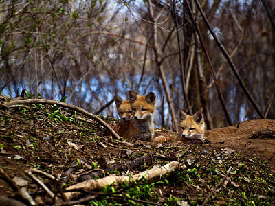 Three Cute Kit Foxes 3 Art Print by Thomas Young