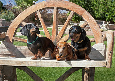 Three Dachshunds Together On A Wooden Art Print