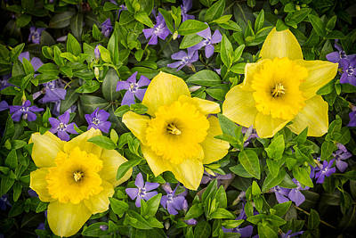 Still Life Royalty-Free and Rights-Managed Images - Three Daffodils in Blooming Periwinkle by Adam Romanowicz