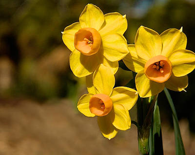 Photograph - Three Daffodils by Steve Kaye