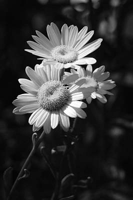 Photograph - Three Daisies - Infrared by Suzanne Gaff