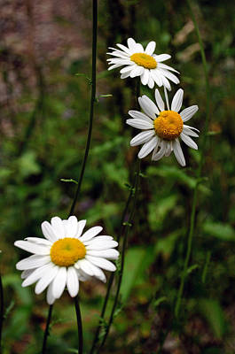 Photograph - Three Daisies by Tikvah's Hope