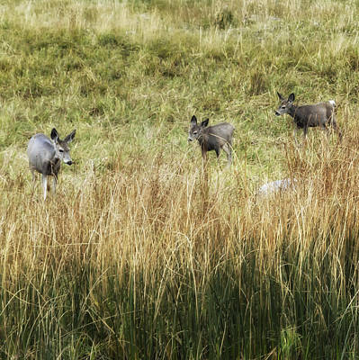 Twin Fawns Photograph - Three Deer by Belinda Greb