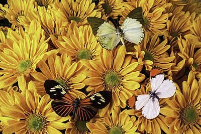 Chrysanthemums Photograph - Three Delicate Butterflies by Garry Gay