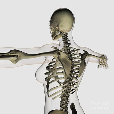 Human Skeleton Digital Art - Three Dimensional View Of Female Upper by Stocktrek Images