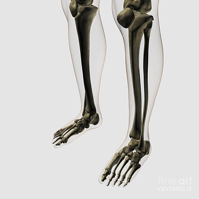Human Joint Photograph - Three Dimensional View Of Human Leg by Stocktrek Images