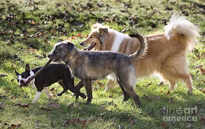 Boston Terrier Photograph - Three Dogs by Jean-Michel Labat