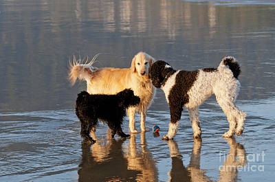 Parti Photograph - Three Dogs On A Beach by William H. Mullins